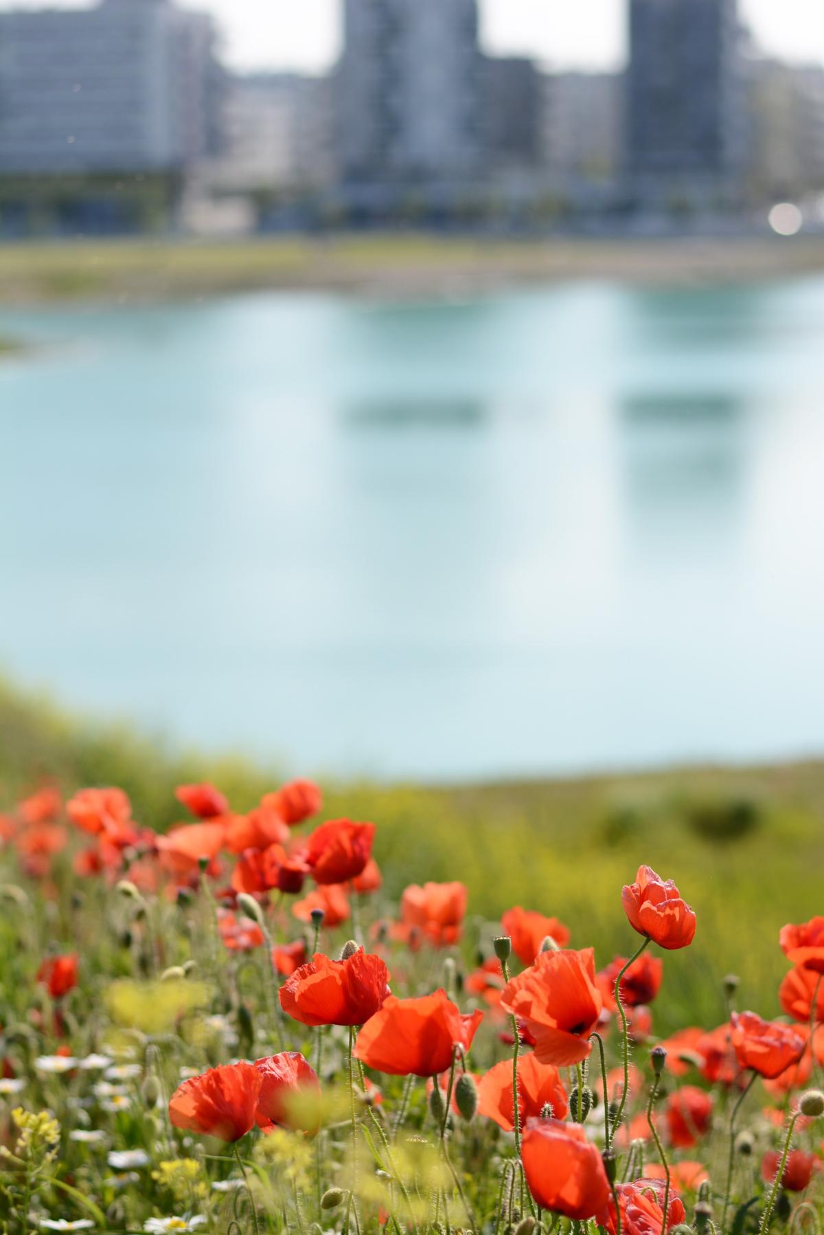 Seestadt Mohnblumenwiese | Pixi mit Milch