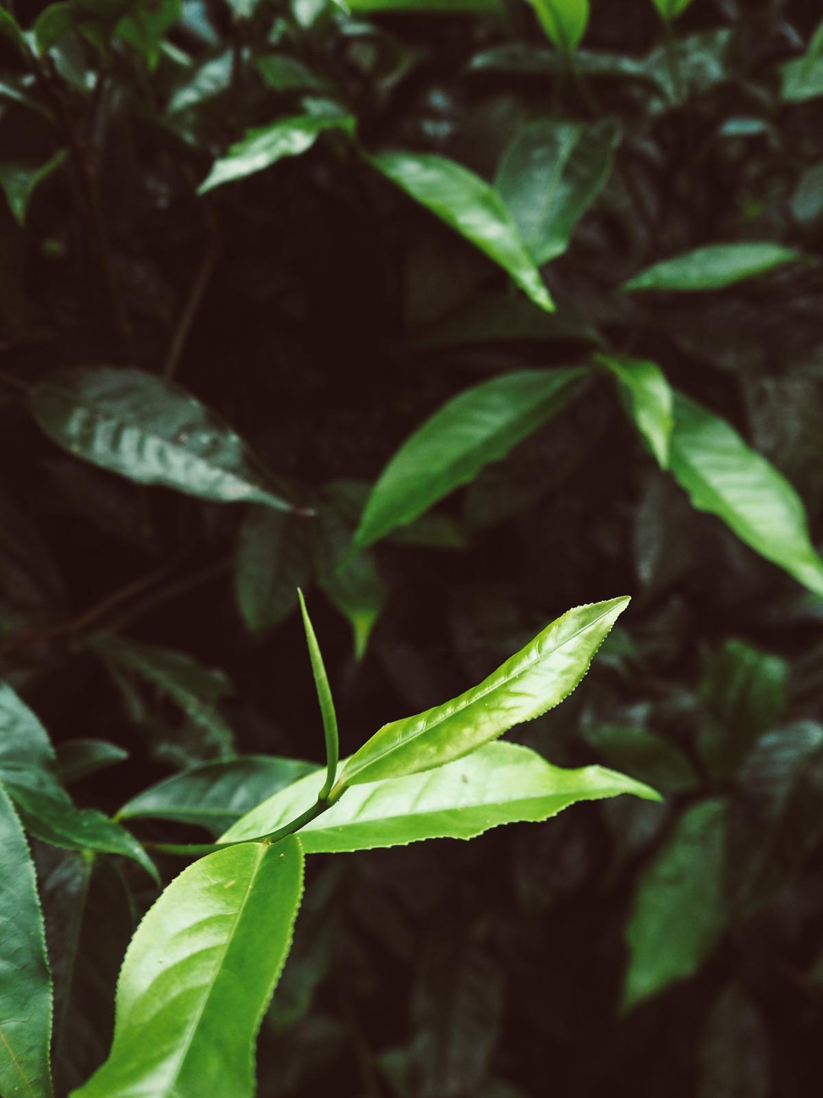 Teeplantage Thailand | Pixi mit Milch